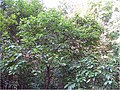 Cephalanthus occidentalis 14zz.jpg