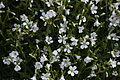 Cerastium arvense in Botanical Garden of Besançon 01.JPG