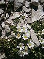 Cerastium latifolium RHu 02.JPG