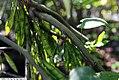 Cercis canadensis Covey 4zz.jpg