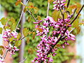 Cercis occidentalis-IMG 6649.JPG