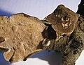 Cerioporus stereoides (Fr.) Ryvarden 243549.jpg