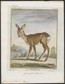 Cervus capreolus - 1700-1880 - Print - Iconographia Zoologica - Special Collections University of Amsterdam - UBA01 IZ21500017.tif