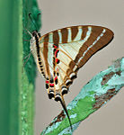 Chain Swordtail (Graphium aristeus) at 23 Mile, Duars, WB W IMG 5883.jpg