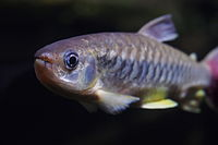 Chalceus macrolepidotus (15877166999).jpg