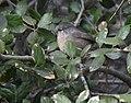 Chamaea fasciata, San Diego 24.jpg