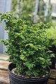 Chamaecyparis obtusa Lougheed 1zz.jpg