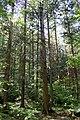 Chamaecyparis pisifera experimental forest 2.JPG