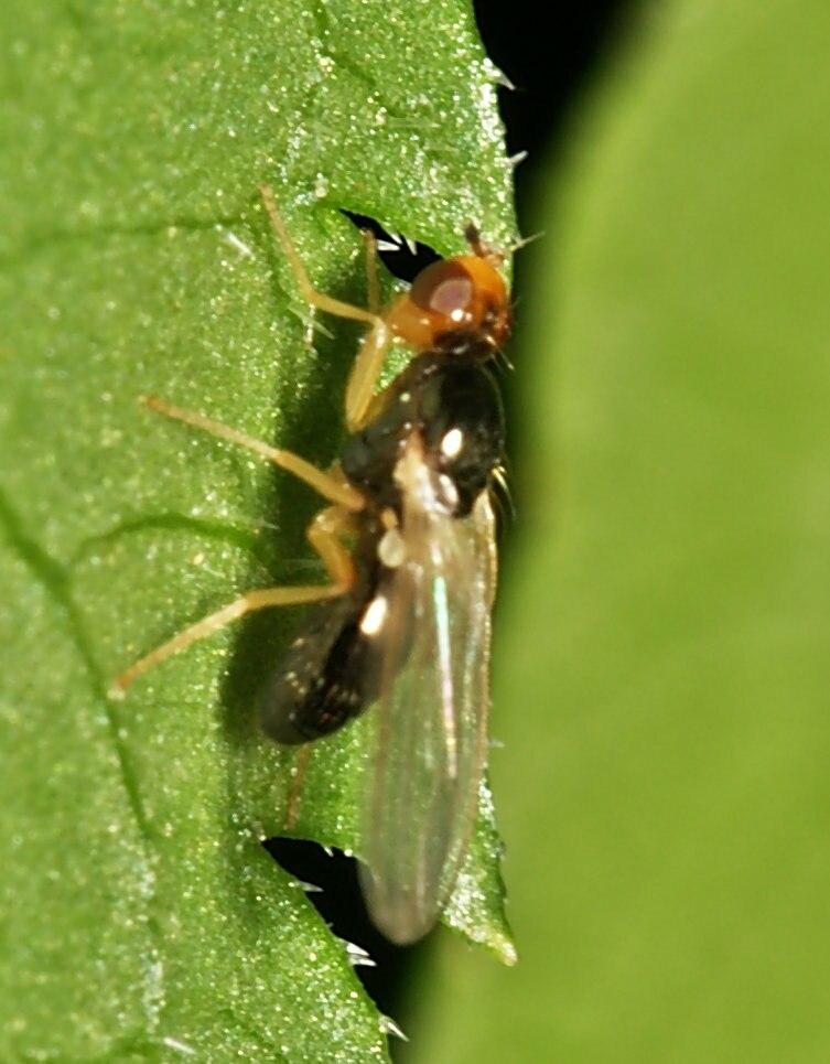 Chamaepsila.sp.1