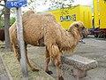 Chameau de Bactriane (Camelus bactrianus).jpg