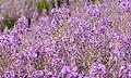 Chamerion angustifolium (Epilobium angustifolium)- Fireweed - Yakıotu 2.jpg