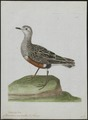Charadrius morinellus - 1790-1796 - Print - Iconographia Zoologica - Special Collections University of Amsterdam - UBA01 IZ17200203.tif