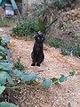 Chat noir Algérie.jpg