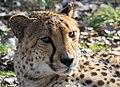 Cheetah at Safari West (12045450966).jpg