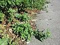 Chenopodium murale sl45.jpg