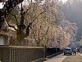 Cherry Blossom - panoramio - tsushima (1).jpg