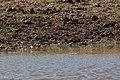 Chestnut-collared Longspur Davis Pasture Sonoita AZ 2018-01-26 11-37-40 (39046752155).jpg