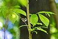 Chestnut-sided warbler (47883274491).jpg