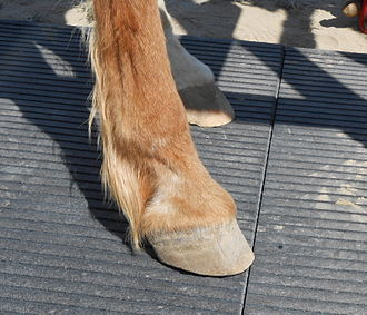 Fetlock - typical untrimmed tuft of hair on the fetlock of a light, non-draft breed of horse