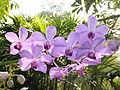 Chiang Mai Orchids P1110360.JPG
