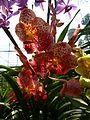 Chiang Mai Orchids P1110375.JPG