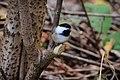 Chickadee (22036330609).jpg