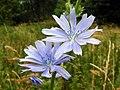 Chicory (Cichorium intybus) (29112154042).jpg