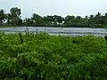 Chilli farm Chamarajanagar District IMG20170828084519.jpg