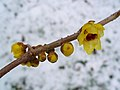 Chimonanthus praecox 002.JPG