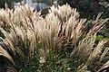 Chinaschilf (Miscanthus sinensis) Blumengärten Hirschstetten Wien 2014 d.jpg