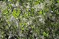 Chionanthus virginicus 12zz.jpg