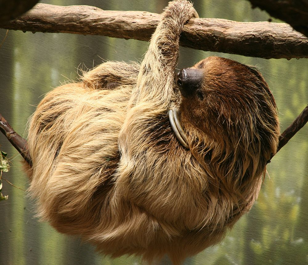 The average adult weight of a Linnaeus's two-toed sloth is 6.61 kg (14.57 lbs)