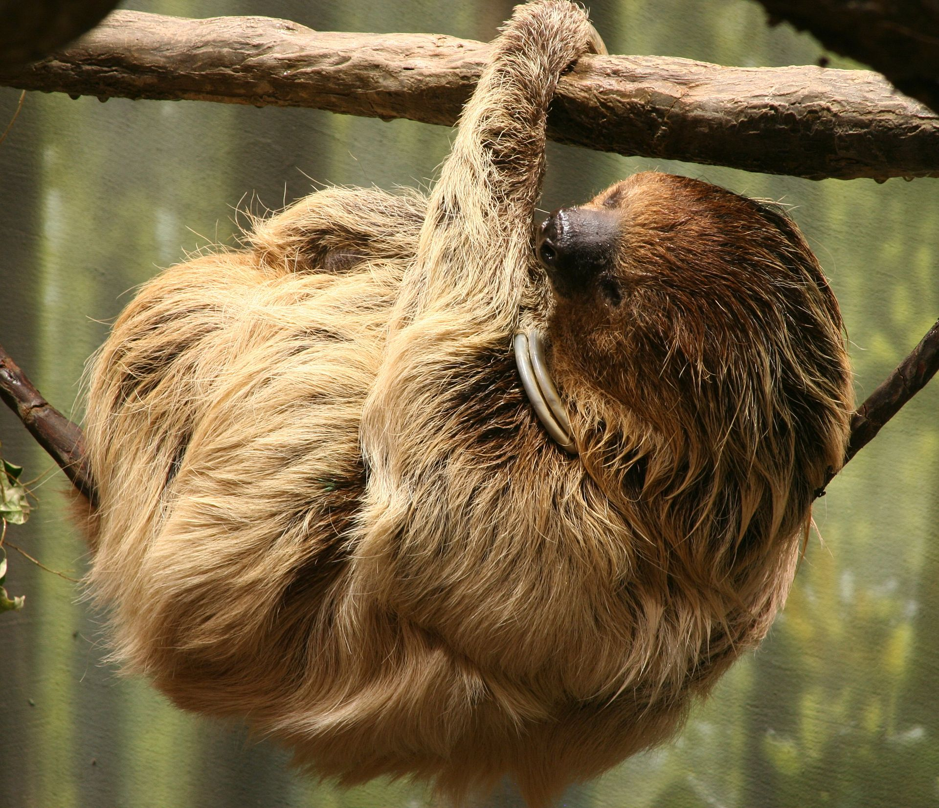 Two toed sloth Wikipedia