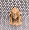 Choristoneura fractivittana (1 of 1).jpg