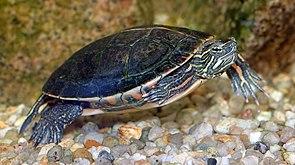 Südliche Zierschildkröte (Chrysemys picta dorsalis)