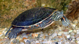 Deirochelyinae - Painted turtle (Chrysemys picta)