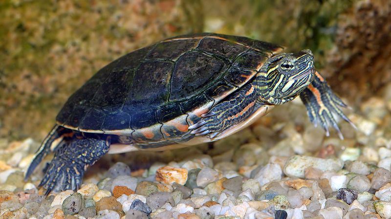 Slider and other Semi-Aquatic Turtle Diets - Vegetables and Greens ...