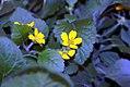 Chrysogonum virginianum Allen Bush 1zz.jpg
