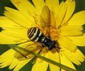 Chrysotoxum arcuatum - Arched Waspfly (female) - Flickr - S. Rae.jpg