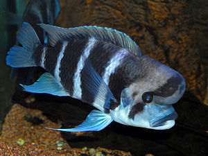 Cichlidae - Cyphotilapia frontosa.JPG