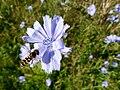 Cichorium intybus and Scaeva pyrastri - Chicory flower with landing hoverfly - Wegwarte mit Schwebfliege 01.jpg