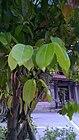 Cinnamomum cassia Leaf.jpg