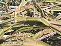 Cissus quadrangularis - Bubai Bera 03.jpg