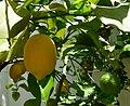 Citron dans un jardin de Cordoue.JPG