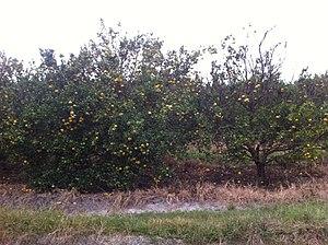 Citrus production - Negative citrus greening tree vs Positive citrus greening tree
