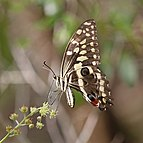 Citrus swallowtail Christmas butterfly (Princeps demodocus) fresh.jpg