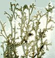 Cladonia arbuscula-5.jpg