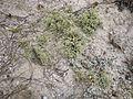 Cladonia leporina GUIS.jpg