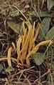 Clavulinopsis fusiformis, Cefn Cribwr near Maesteg (30720106260).jpg