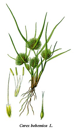 Cleaned-Illustration Carex bohemica.jpg